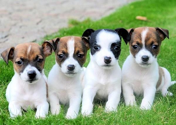 Цвет шерсти собак преимущественно белый, украшенный рыжими или черными пятнами