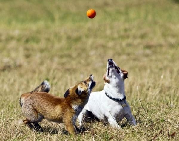 Удивительно, но сегодня джек-рассел-терьер, который был придуман для охоты на лис, может не только не враждовать с этими одомашненными питомцами, но и даже дружить, ведь они, по сути, являются представителями одного семейства
