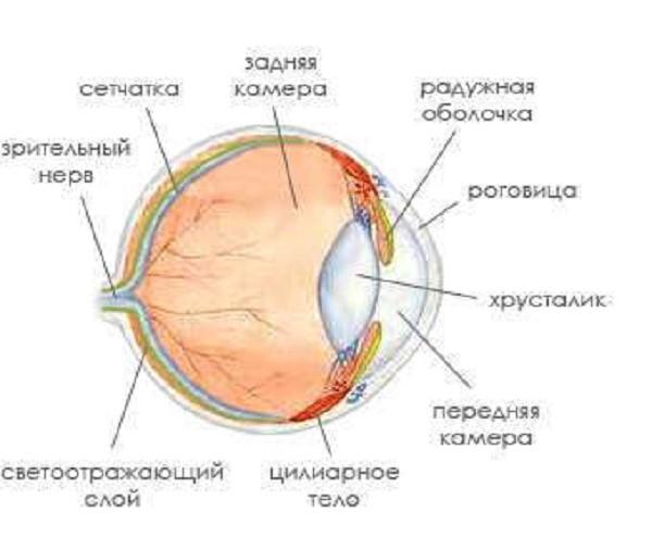 Схема строения глазного аппарата кошек