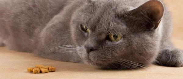 Алиментарная аллергия диагностируется у кошек втрое чаще, чем другие виды этого недуга