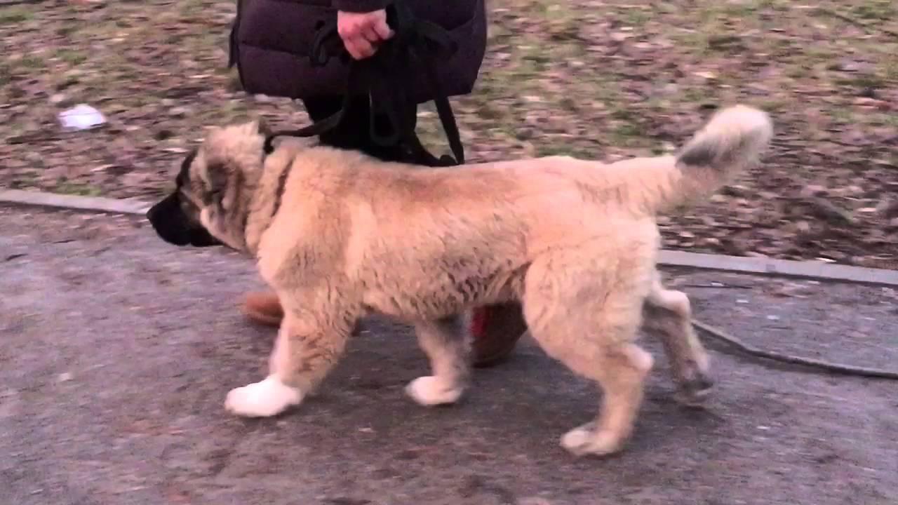 Щенок кавказской овчарки гуляет на поводке
