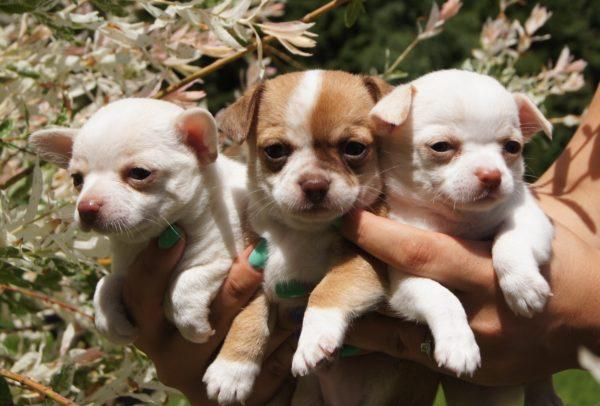 Стоимость щенков варьируется от 15000 до 45000 рублей
