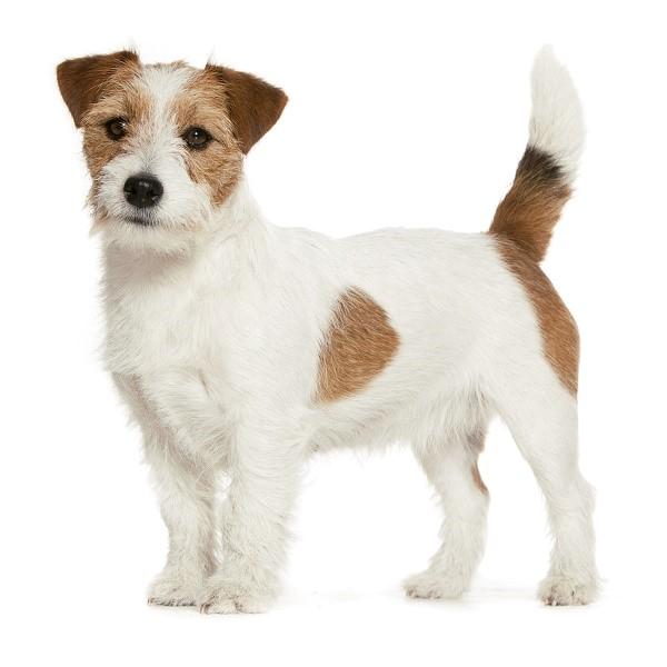 Уши у собак данной породы купируются