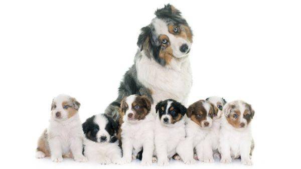 Стерилизация бракованных собак необходима для успешной селекции