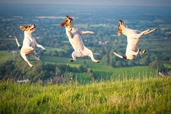 Достаточная физическая активность этих собак - залог целостности вашей мебели и иных предметов обихода