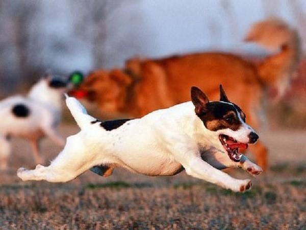 С другими собаками животное может равно как дружить, так и не играть, и даже подраться в первую встречу