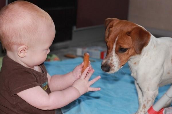 Джек-рассел - собака, очень терпимая к детям, однако, она не станет играть с ребенком, если тот будет ее безжалостно хватать
