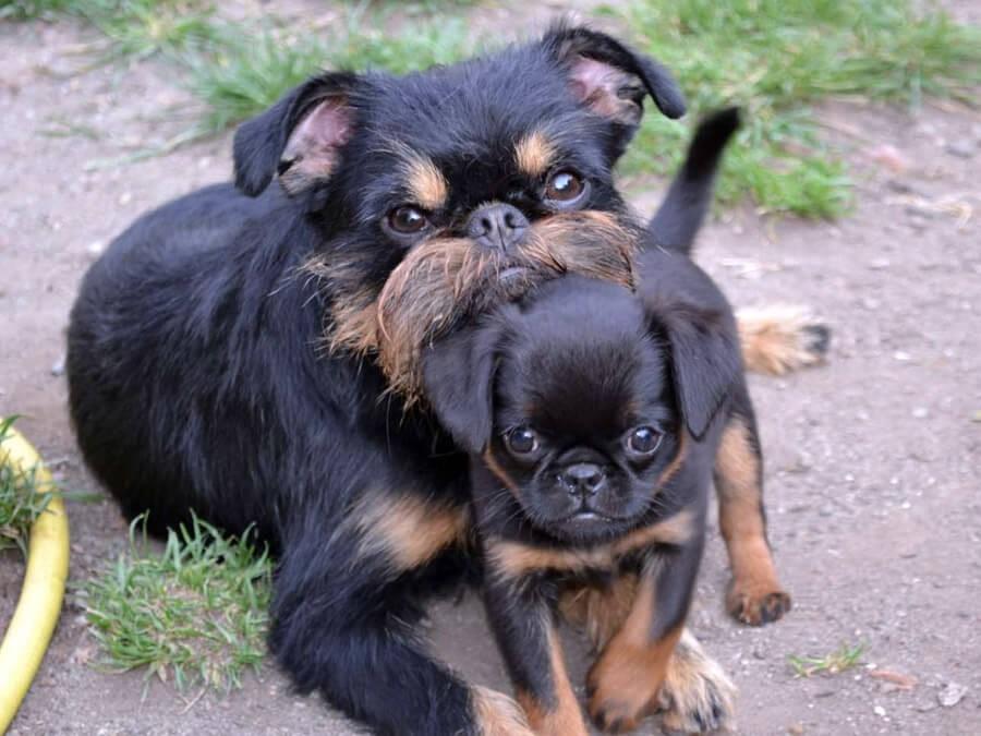 Щенок гриффона с матерью