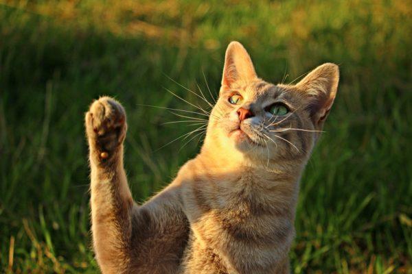 Вибриссы помогают кошке познавать окружающий мир