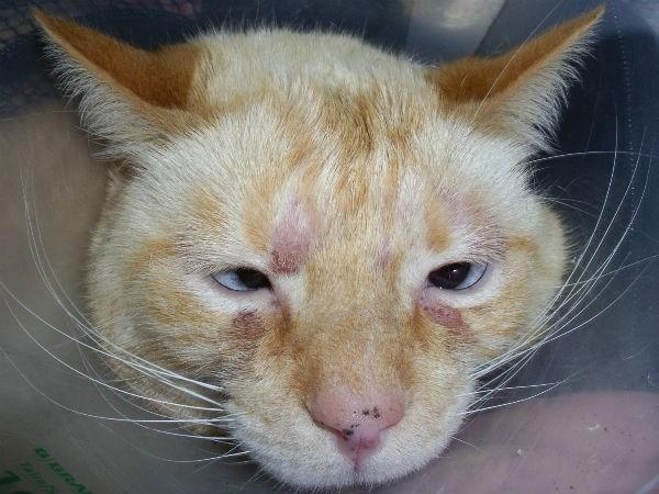 Дерматит может образоваться на любой точке тела кошки