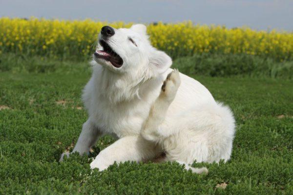 Считается, что белые собаки больше склонны к аллергии