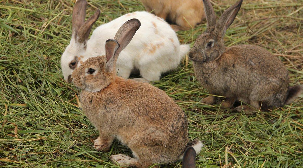 В дикой природе кролики живут группами