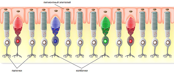 Как выглядят нервные клетки-фоторецепторы палочки и колбочки