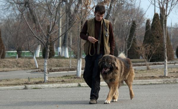 Кавказская овчарка на прогулке вместе с хозяином
