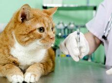 Как сделать укол коту внутримышечно в домашних условиях