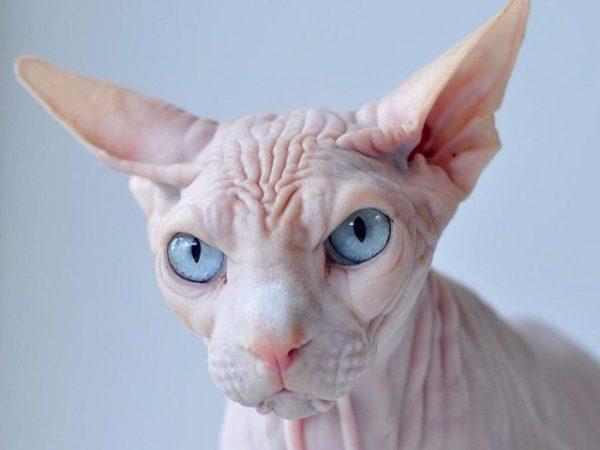 Бесшерстные кошки чаще прочих страдают от аллергий