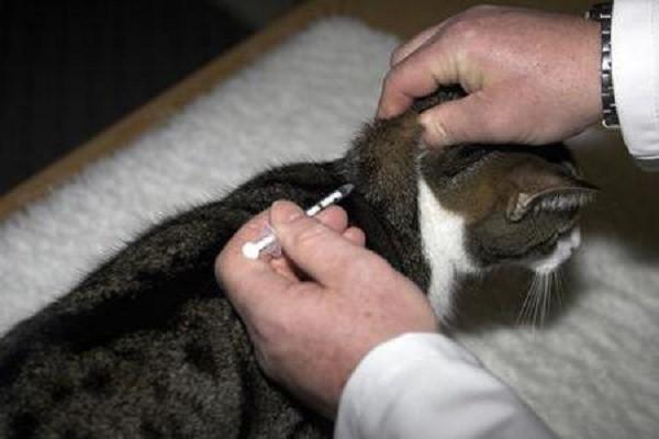 Подбор правильной дозы дексаметазона, которая нужна коту в той или иной ситуации, определит то, будут ли у лечения негативные последствия