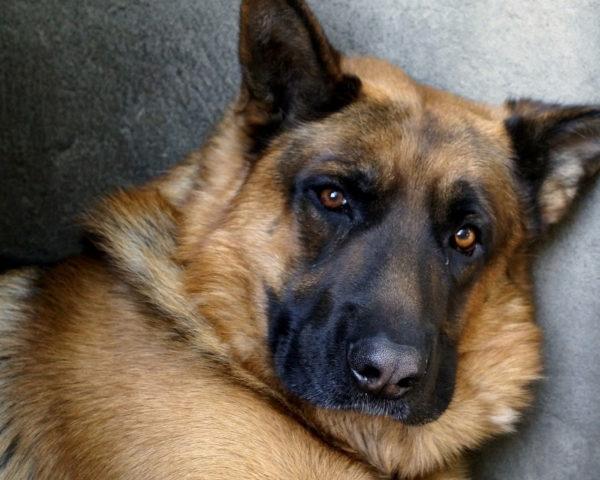 Действие «Артрогликана» нацелено на возрастных собак