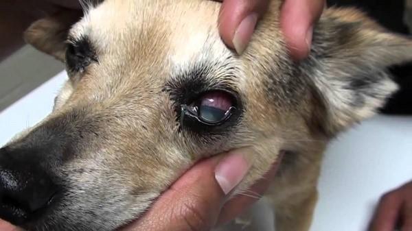 По поведению пса гипертония может быть незаметна, однако, рано или поздно она даст о себе знать, например, глаукомой