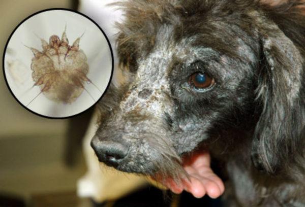 Чаще всего собак атакует Sarcoptes сanis