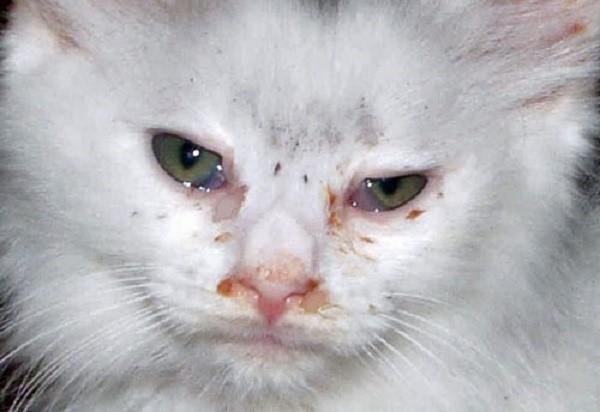 Дексаметазон отлично помогает при конъюнктивите у кота
