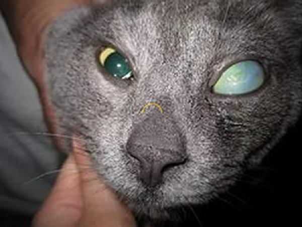 Увеличение глазного яблока - характерный симптом глаукомы у кошек