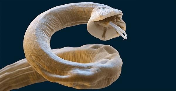 Гельминты - черви, которые паразитируют внутри органов кошки