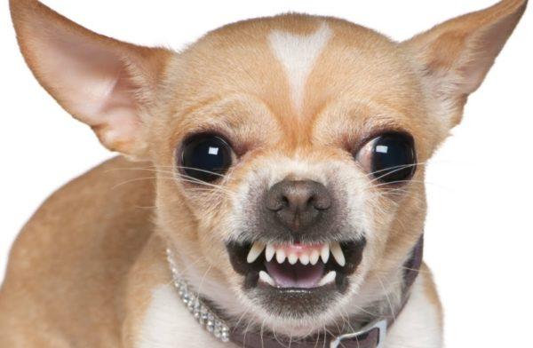 Собаки отличаются смелостью и бесстрашием