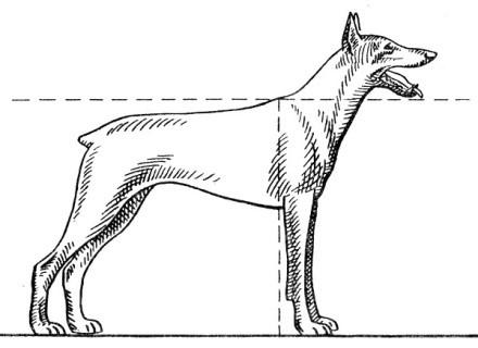 Нужно измерить параметры собаки, чтобы подготовить домик, подходящий ей по размеру