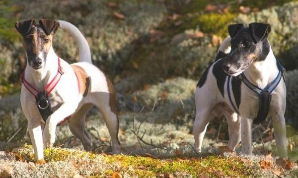 Между любителями фокстерьеров в ХIХ веке разгорелась нешуточная битва на тему того, кто же все-таки эти собаки - охотники или подиумные дивы?