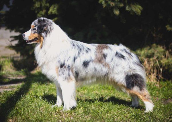 Австралийская овчарка стандартного типа