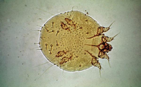Внешний вид Sarcoptes canis