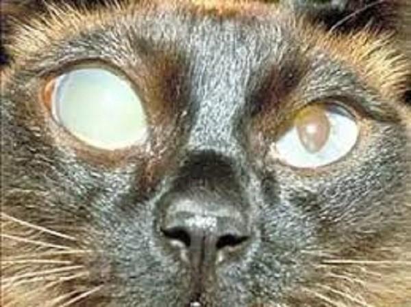 Частично или полностью ослепшая кошка может ориентироваться в пространстве посредством усов и ушей