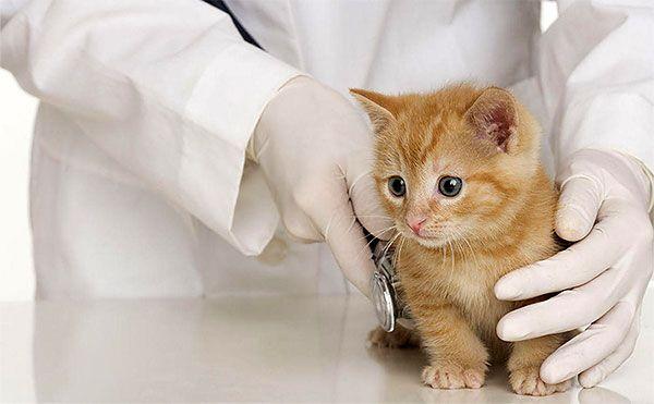 В некоторых ситуациях кошкам требуется проведение оперативного вмешательства, так как иными способами купировать заболевание невозможно