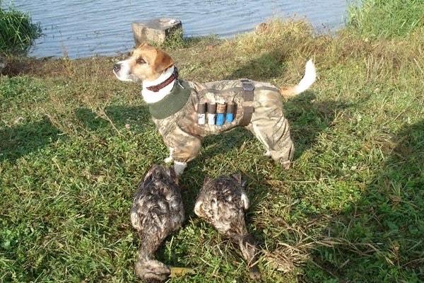 Джек-рассел-терьер на охоте