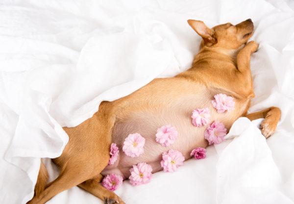 Повышенный уровень фосфатазы у беременной собаки - абсолютная норма, бояться нечего