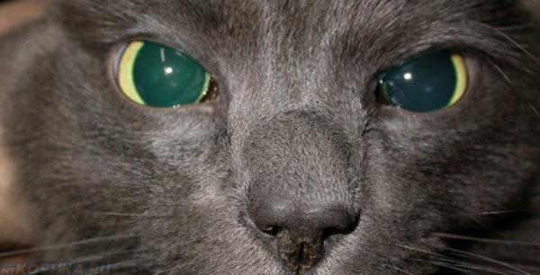 Главному центру нервной системы нечего перерабатывать, поэтому у кота или кошки наступает слепота частичная или полная