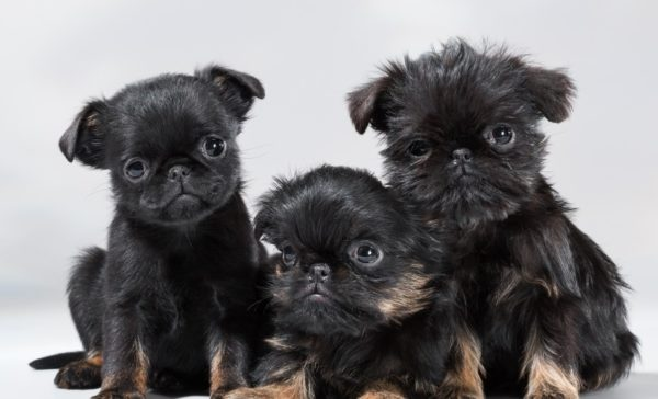 В среднем в помете 3 щенка