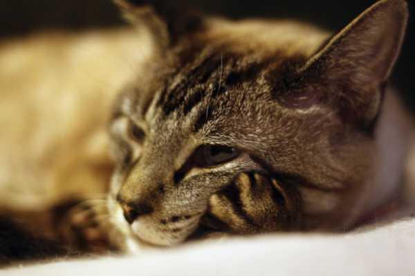 Нельзя допускать к участию в разведении животных с дисплазией