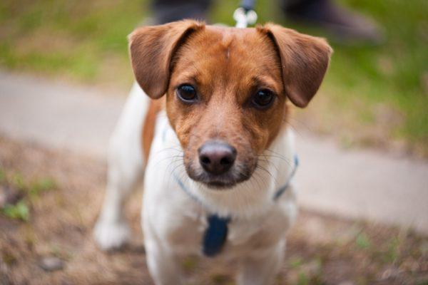 Преподобного Джека Рассела не интересовал внешний вид новой собаки, а только ее физические характеристики, которые он стремился усовершенствовать