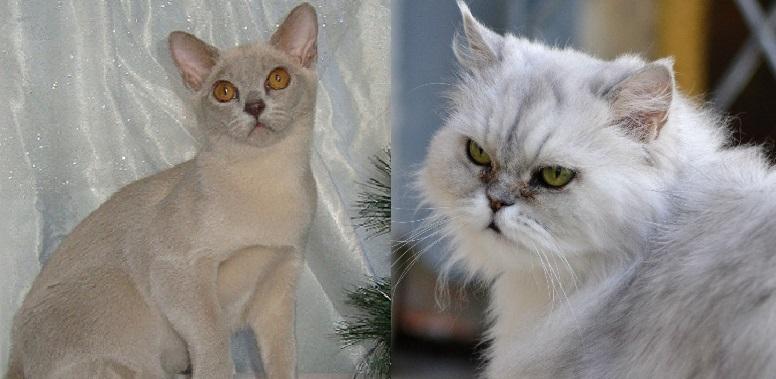 «Родители» бурмиллы — бурманская кошка и персидская шиншилла