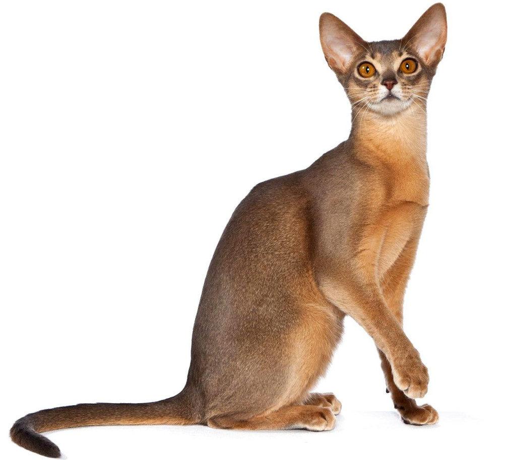 Абиссинская кошка тикированного окраса