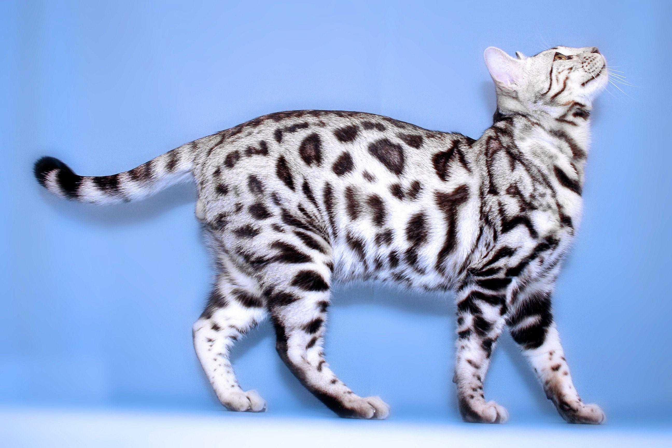 Бенгальская кошка окраса табби — сильвер
