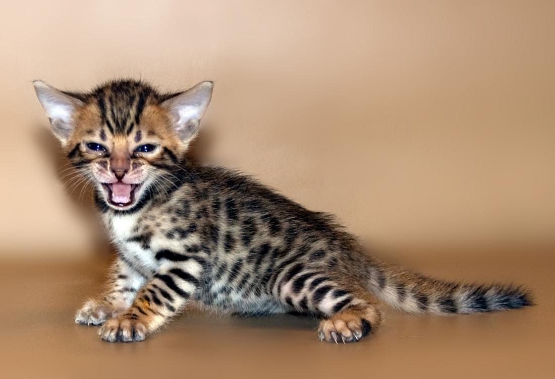Как ухаживать за бенгальским котёнком?