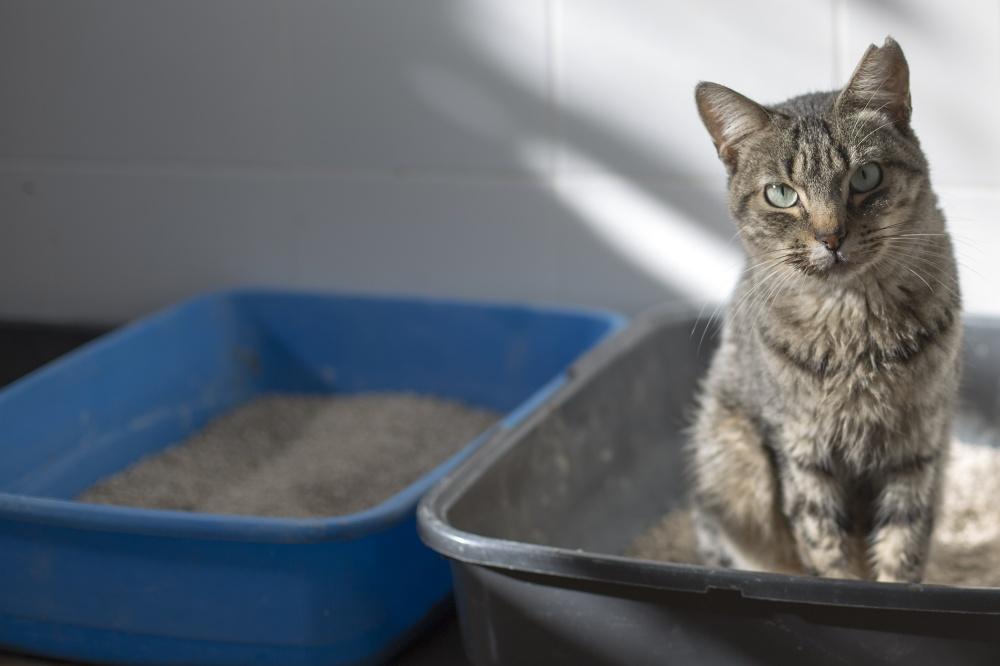 Благодаря циститу, кот буквально поселятся в лотке