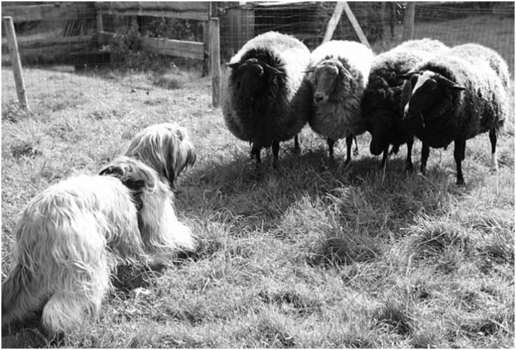 Бриары были выведены для помощи пастухам на пастбищах