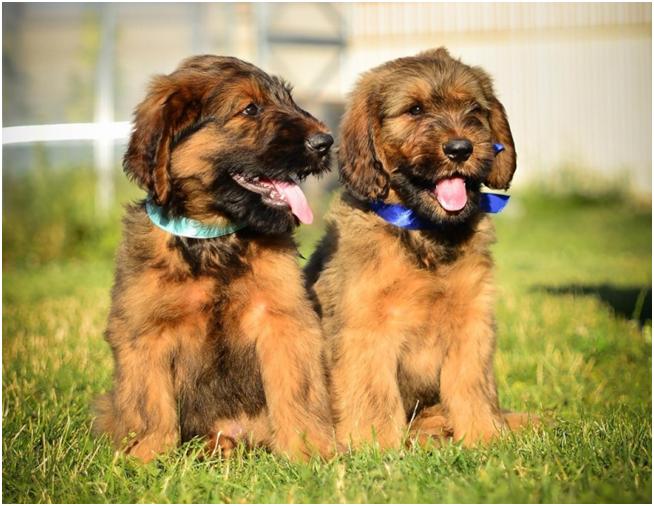 Бриар – очень редкая порода собак в России
