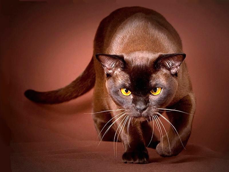 Бурманская кошка грациозное животное