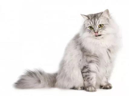 Бурмилла-кошка