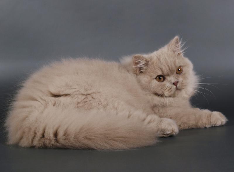 Бурмилла кошка описание